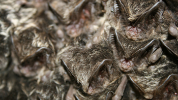 Barbastelle bats. Image: Thinkstock