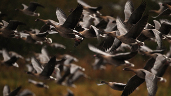 Pink footed geese. Image: Thinkstock