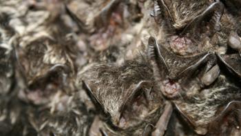 Barbastelle bats. Image: Thinkstock